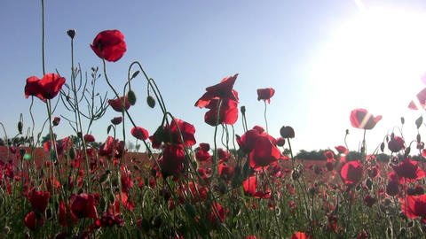 Red poppies and sun Stock Video Footage