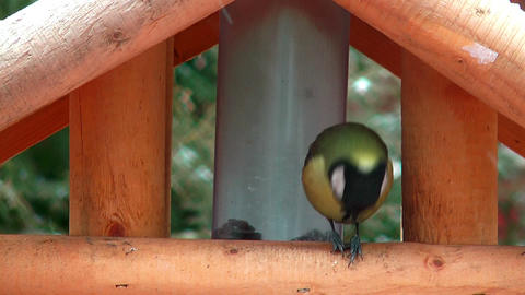 great tit cracking sunflower seed in winter Stock Video Footage