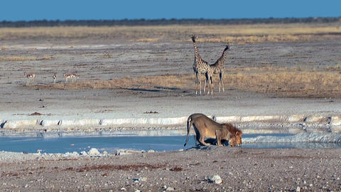 Couple of lions drinking water at Etosha National Park Namibia Footage