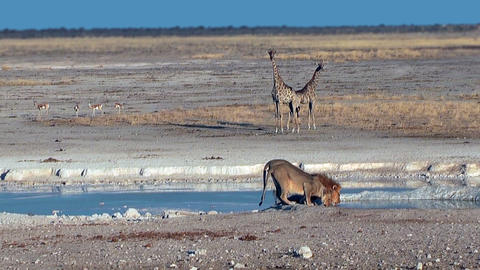 Couple of lions drinking water at Etosha National Park... Stock Video Footage