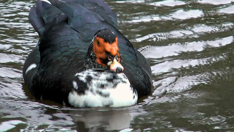 Muscovy Duck courting in a pond Stock Video Footage