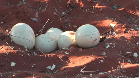 ostrich eggs in nest Footage