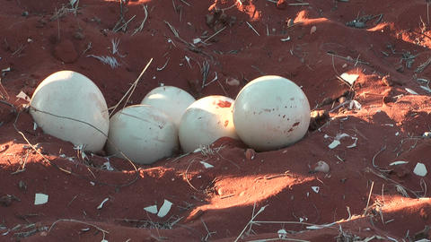 ostrich eggs in nest Stock Video Footage