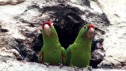 couple of parrots sitting in front of a cavern Footage