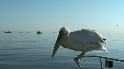 pelican catching a thrown fish Footage