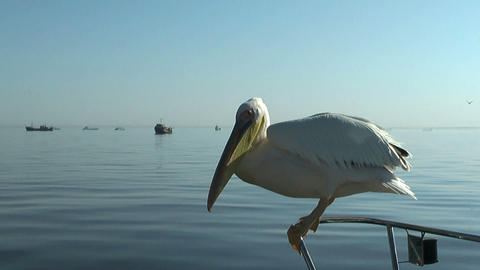 pelican catching a thrown fish Stock Video Footage