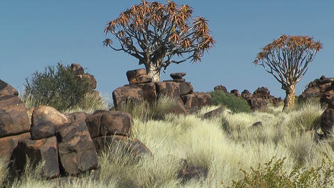quiver trees in quiver tree forest Stock Video Footage