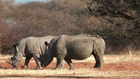 Two white rhinoceros in namibia,africa Stock Video Footage