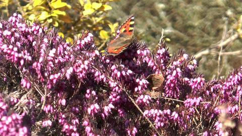 small tortoiseshell butterfly sucking nectar Stock Video Footage