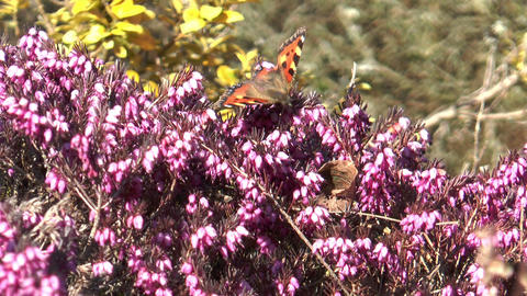 small tortoiseshell butterfly sucking nectar Stock Video Footage