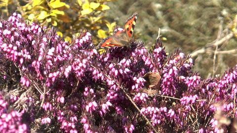 small tortoiseshell butterfly sucking nectar Footage