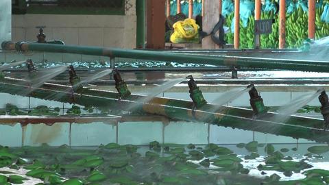 Washing Costa Rica bananas Stock Video Footage