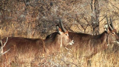 waterbucks walking in bushland namibia Footage