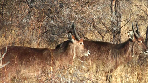 waterbucks walking in bushland namibia Stock Video Footage
