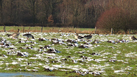 wild geese on snowy meadow Stock Video Footage