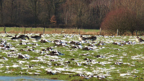 wild geese on snowy meadow Footage
