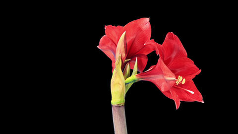 Growth of red hippeastrum flower buds ALPHA matte... Stock Video Footage
