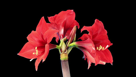 Growth of red hippeastrum flower buds ALPHA matte (Hippeastrum Royal Red) Footage