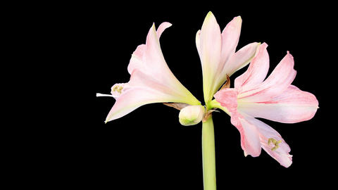 Growth Of White Hippeastrum Flower stock footage