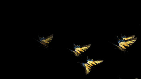Swallowtail Butterfly Transition - 12 Stock Video Footage