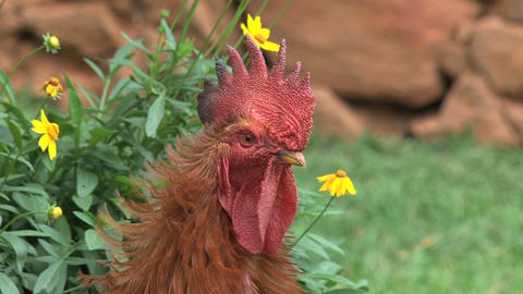 Close up rooster walking away Stock Video Footage