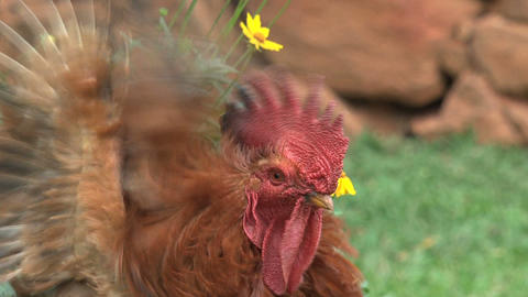 Close up rooster walking away Footage