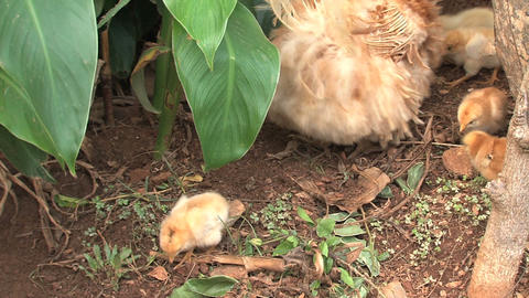Baby chicken walking around mother Stock Video Footage