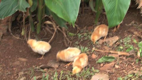 Baby chicken walking around mother Stock Video Footage