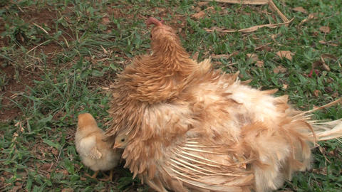 Baby chicken under and around mothers molting wing Stock Video Footage