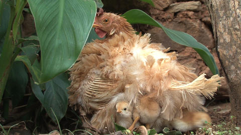 Baby chicken under mother wings Stock Video Footage