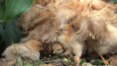 Little chicken jumps at mother Footage