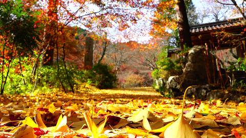 ginkgo Fall foliage autumun colored leavesge autumun colored leaves Footage