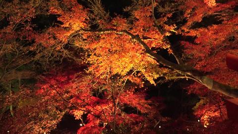 Fall foliage autumun colored leaves in the night ライブ動画