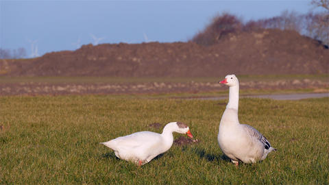 Goose couple on grass at sunset Footage