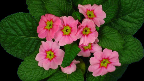 Time-lapse of growing red primula with ALPHA channel Footage