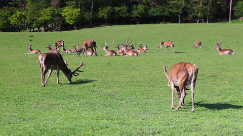The herd of fallow deers Footage