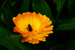 Honey bee on daisy flower Footage