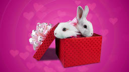Love gift on Valentines day, two cute rabbits with pink bows Footage
