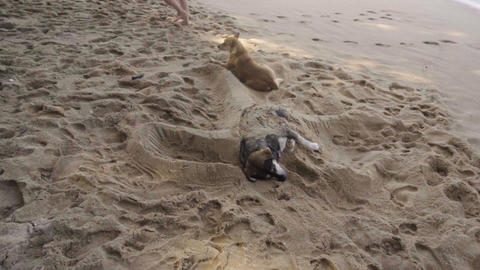 Dogs resting on sandy beach Live Action