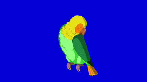 Green parrot cleans feathers HD blue screen Animation