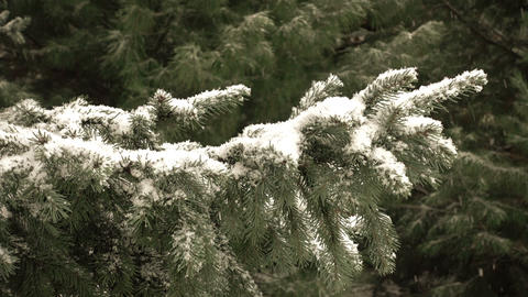 Snow Falling In Front of Fur Tree Footage