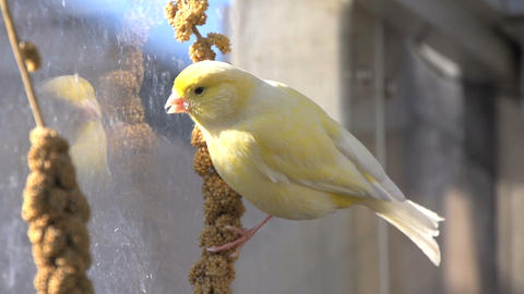 Yellow Canary Eating stock footage