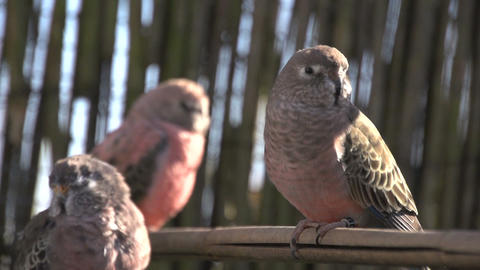 Three Pink Bourke Parakeet stock footage