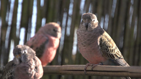Three Pink bourke parakeet Stock Video Footage