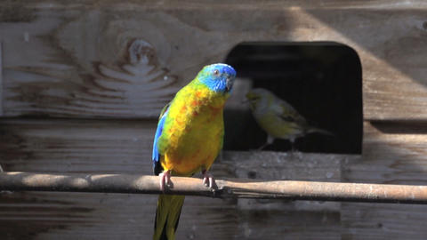 Colorful turquoise Parakeet with canary behind him flying... Stock Video Footage