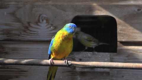 Colorful turquoise Parakeet with canary behind him flying away Footage