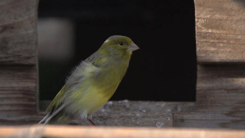 Moulting canary jumping away Stock Video Footage