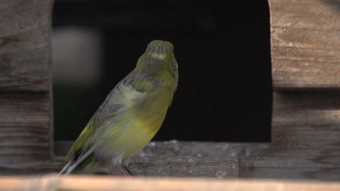Moulting canary jumping away Footage