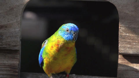 Colorful turquoise Parakeet leaving cage Footage