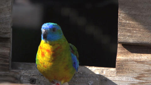 Colorful turquoise Parakeet leaving cage Stock Video Footage